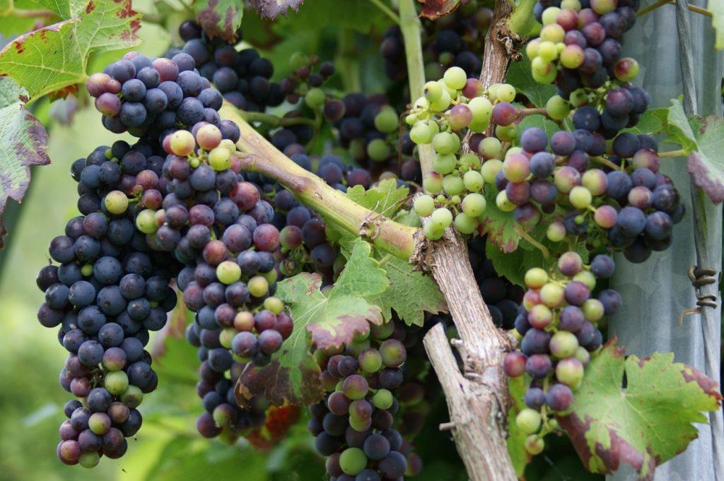 druivensap gezond