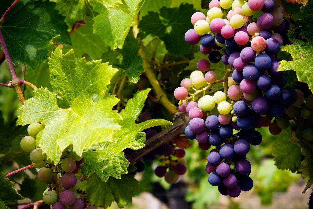 druiven gezond