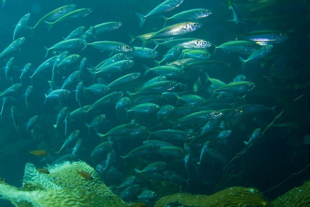 makreel gezond